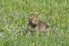 Gray wolf cub Stock Image