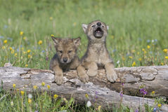 Gray wolf cubs. Wolf cubs photographed near their den in Montana