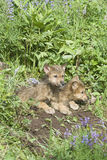Gray wolf cubs Stock Images