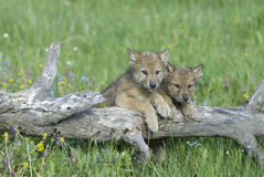 Gray wolf cubs. Near their den in Montana Royalty Free Stock Photography
