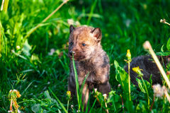 Gray Wolf Cubs in a Grass Stock Image