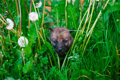 Gray Wolf Cubs in a Grass Royalty Free Stock Photos