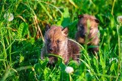 Gray Wolf Cubs i ett gräs Royaltyfri Bild