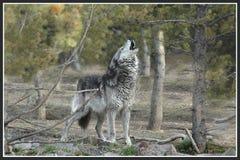 Gray Wolf d'urlo Fotografia Stock Libera da Diritti