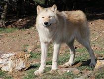 Gray Wolf de Alaska sonriente Imágenes de archivo libres de regalías