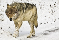 Gray Wolf in de Winter Stock Afbeeldingen