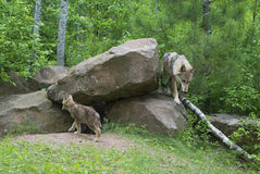 Gray Wolf at den with pups. Royalty Free Stock Image