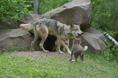Gray Wolf at den surrounded with pups. Royalty Free Stock Photo