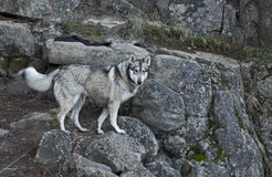 Gray Wolf Dog on Rock Canyon Step Stock Photo