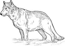 Gray wolf drawing Royalty Free Stock Image