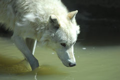 Gray Wolf Drinking. Gray Wolf Drinks From Pond Yellowstone National Park royalty free stock photos