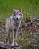 Gray Wolf eller tidmätarevarg royaltyfri bild