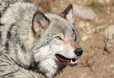 Gray wolf face Stock Image