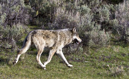 Gray wolf. This is a female gray wolf in yellowstone park royalty free stock image