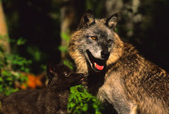 Gray Wolf Female and Young Interacting. A female gray wolf interacting with her pup Stock Photos