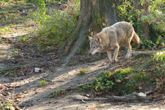 Gray Wolf in forest Stock Photos