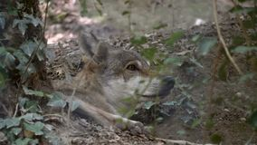 Gray Wolf Forest Close Up stock video