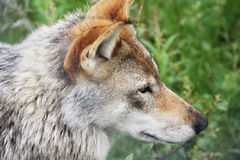Gray Wolf in forest Stock Image