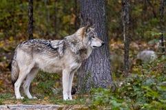 Gray Wolf In Forest Looking Right bredvid träd, arkivbilder