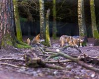 Gray wolf in forest Royalty Free Stock Image