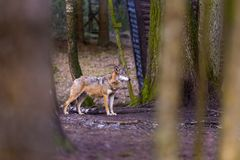 Gray wolf in forest Stock Photo