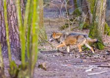Gray wolf in forest Stock Images