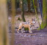 Gray wolf in forest Royalty Free Stock Photos