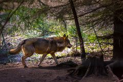 Gray wolf in forest Royalty Free Stock Images