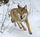 Gray Wolf. In the forest in winter Royalty Free Stock Photo
