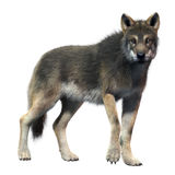 Gray Wolf Front. High Detailed Photo realistic Gray Wolf Front rendered in 3d aplication Royalty Free Stock Photos