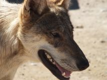 Gray Wolf. In a zoo resting Stock Images
