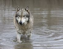 Gray Wolf with Green Eyes Standing in a Lake Royalty Free Stock Image