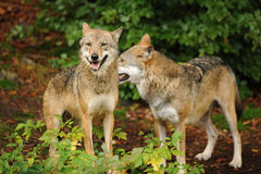 The gray wolf or grey wolf, Canis lupus royalty free stock photo