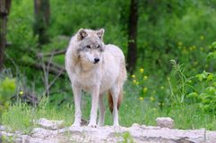 Gray Wolf in Habitat. Gray Wolf Standing on Rocky Outcropping with Forest Background Stock Image