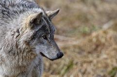 Gray Wolf Head Shot Looking Right imágenes de archivo libres de regalías