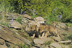 Gray wolf with her cubs. Gray wolf with her young cubs at den site Stock Photos