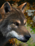 Gray Wolf. High Detailed Photo realistic Gray Wolf  rendered in 3d aplication Royalty Free Stock Image