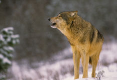 Gray Wolf Howling. A wolf howling during a snow storm Royalty Free Stock Photography