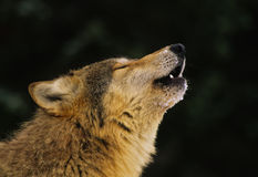 Gray Wolf Howling Portrait. A close up side portrait of a gray wolf howling Royalty Free Stock Photography