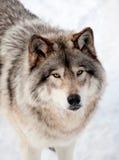Gray Wolf i snön som ser upp på kameran Royaltyfri Fotografi