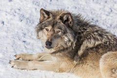 Gray Wolf i snön som ser upp på kameran Fotografering för Bildbyråer