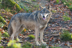 Gray Wolf In Forest Royalty Free Stock Photography