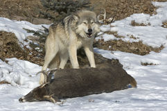 Gray wolf on kill. Timber wolf defends the kill from the rest of his pack Royalty Free Stock Images