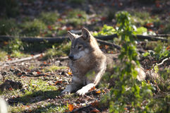 Gray Wolf Laid Royalty Free Stock Images