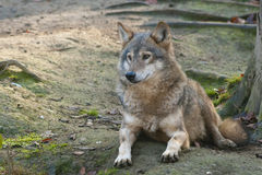 Gray Wolf Laid Stock Photo