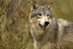 Gray Wolf. Large gray wolf, Denali National Park Royalty Free Stock Photos