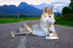 Gray wolf lays on road Royalty Free Stock Images