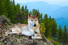 Gray wolf lays on rock Royalty Free Stock Image