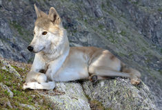 Gray wolf lays on rock Royalty Free Stock Photo