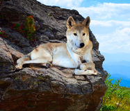 Gray wolf lays on stone in wildness Stock Images
